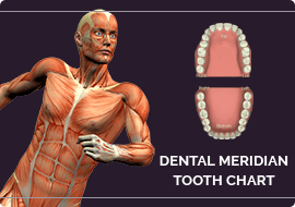Dental Meridian Tooth Chart